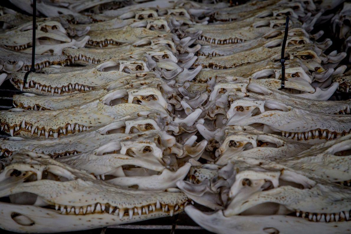 Ces petits crânes de crocodiles marins proviennent d'une ferme de crocodiles locale située à Darwin, en ...