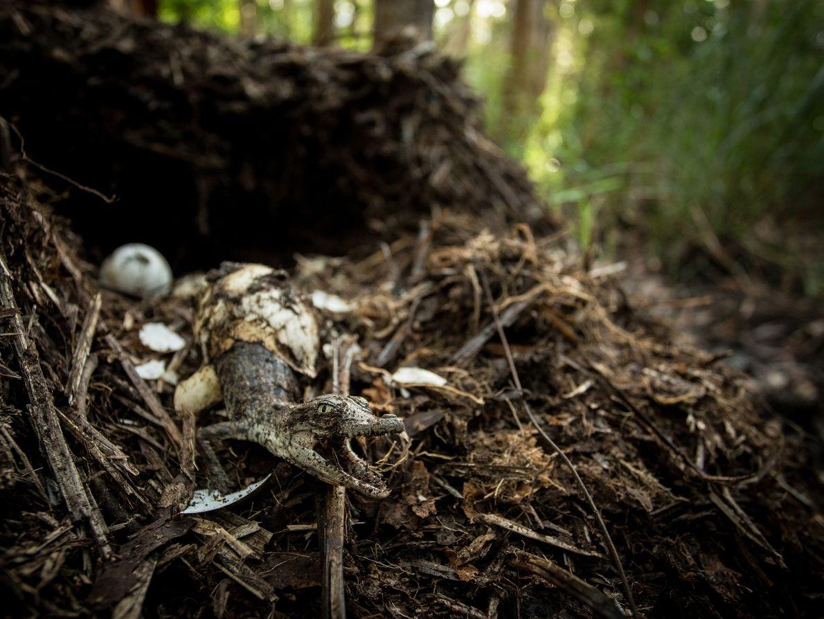 Les crocodiles marins construisent des nids au sein desquels ils déposent leurs œufs, généralement entre 40 ...