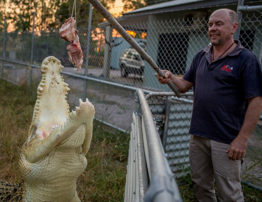 À Darwin, en Australie, l'agent immobilier Gunther Trnka garde un crocodile marin mâle de près de ...