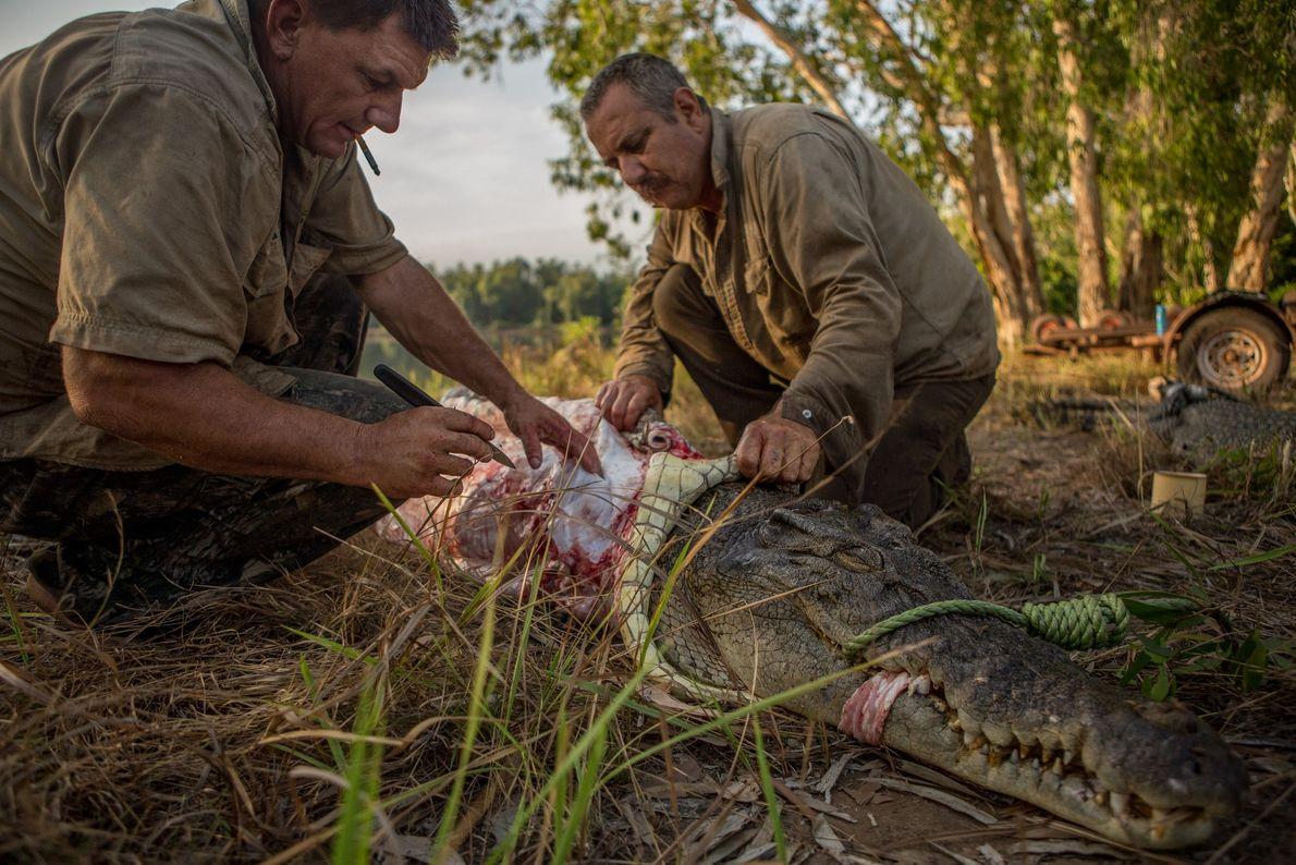 Rodwell (à gauche) et Roger Matthews enlèvent la peau d'un crocodile capturé la veille.