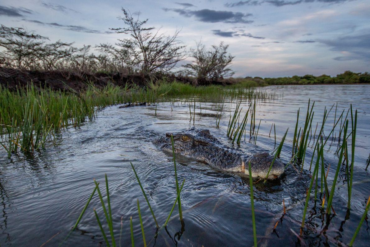 Un imposant crocodile marin mâle d'un peu plus de quatre mètres se cache au milieu des ...