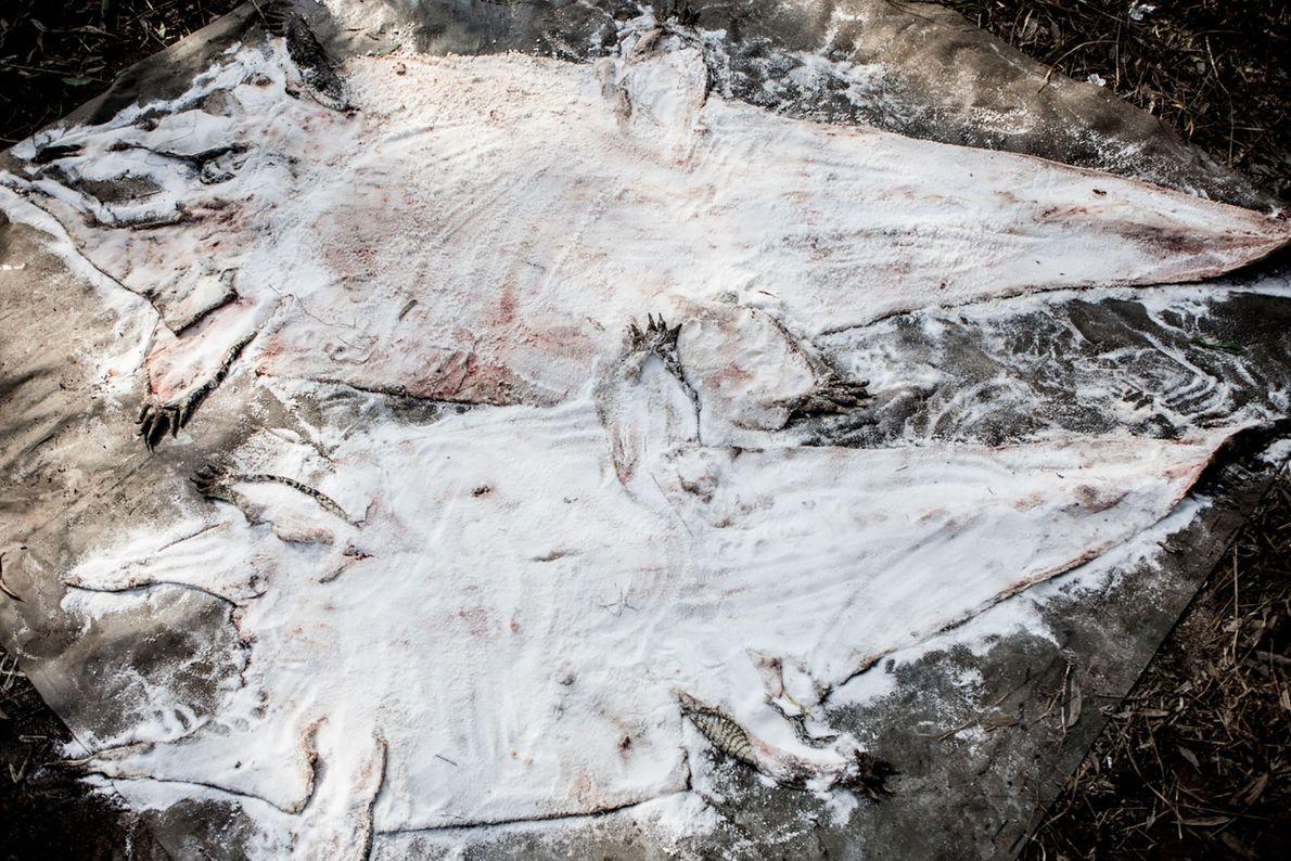 Ces peaux de crocodiles sont en train d'être séchées et conservées.