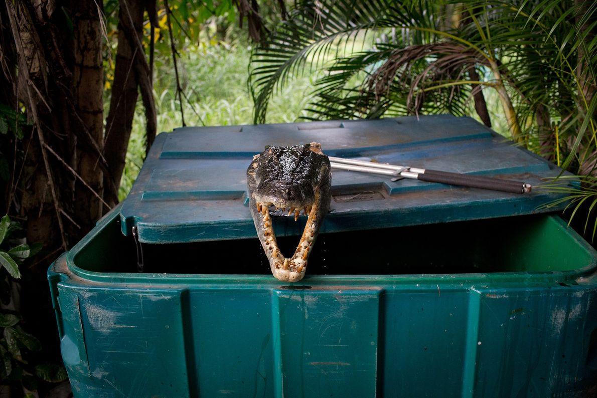 Une tête de crocodile marin tranchée.