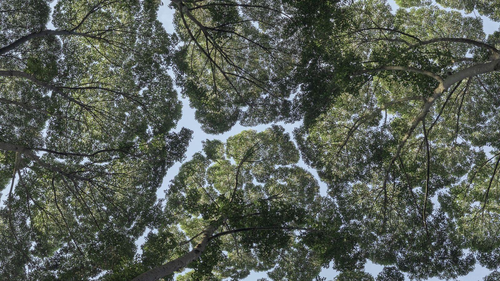Ici photographiés au Forest Research Institute de Malaisie, les arbres de l'espèce Dryobalanops aromatica illustrent parfaitement le phénomène des fentes ...