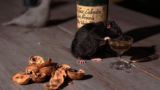 Oui, les rats sont capables de remonter dans vos toilettes