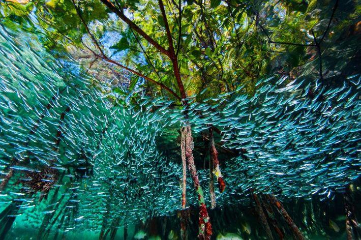 À l'image d'une rivière dans la mer, des capucettes tourbillonnent dans les mangroves. Cette forêt dense ...