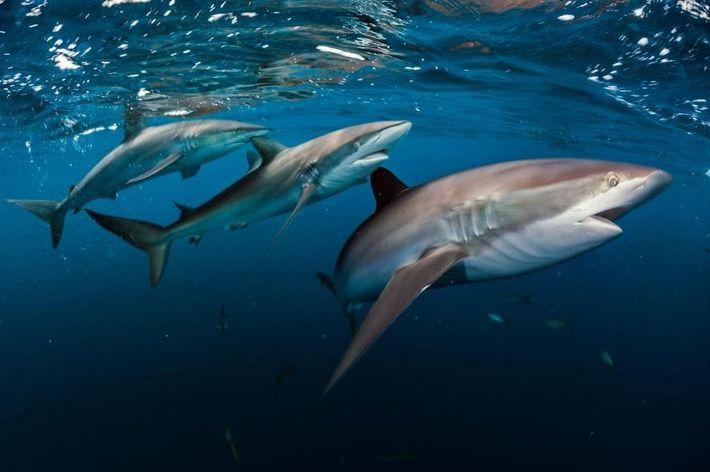Trois requins soyeux (Carcharhinus falciformis) luisent dans la mer des Caraïbes. Dans des récifs en bonne ...
