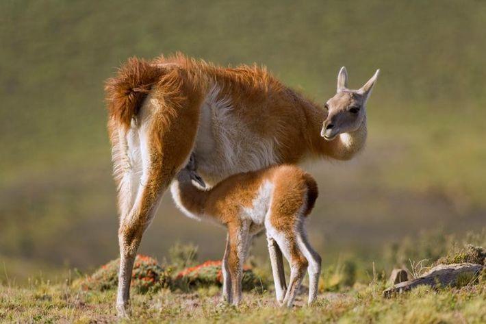 Des lamas dans le parc national de Torres del Paine, au Chili.