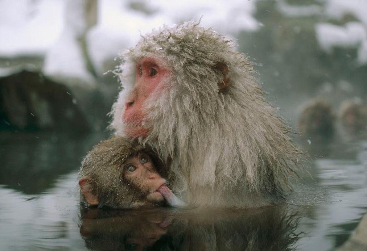 Des macaques japonais au Japon.