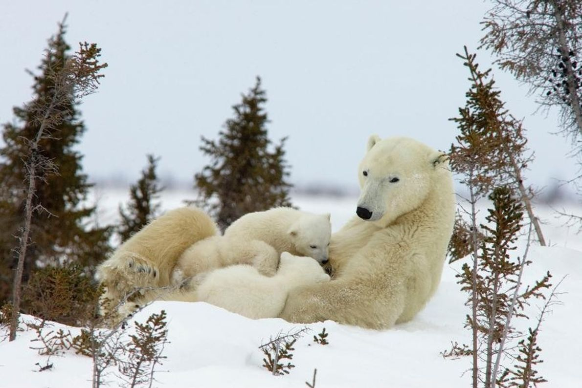 Des ours polaires à Manitoba, au Canada.