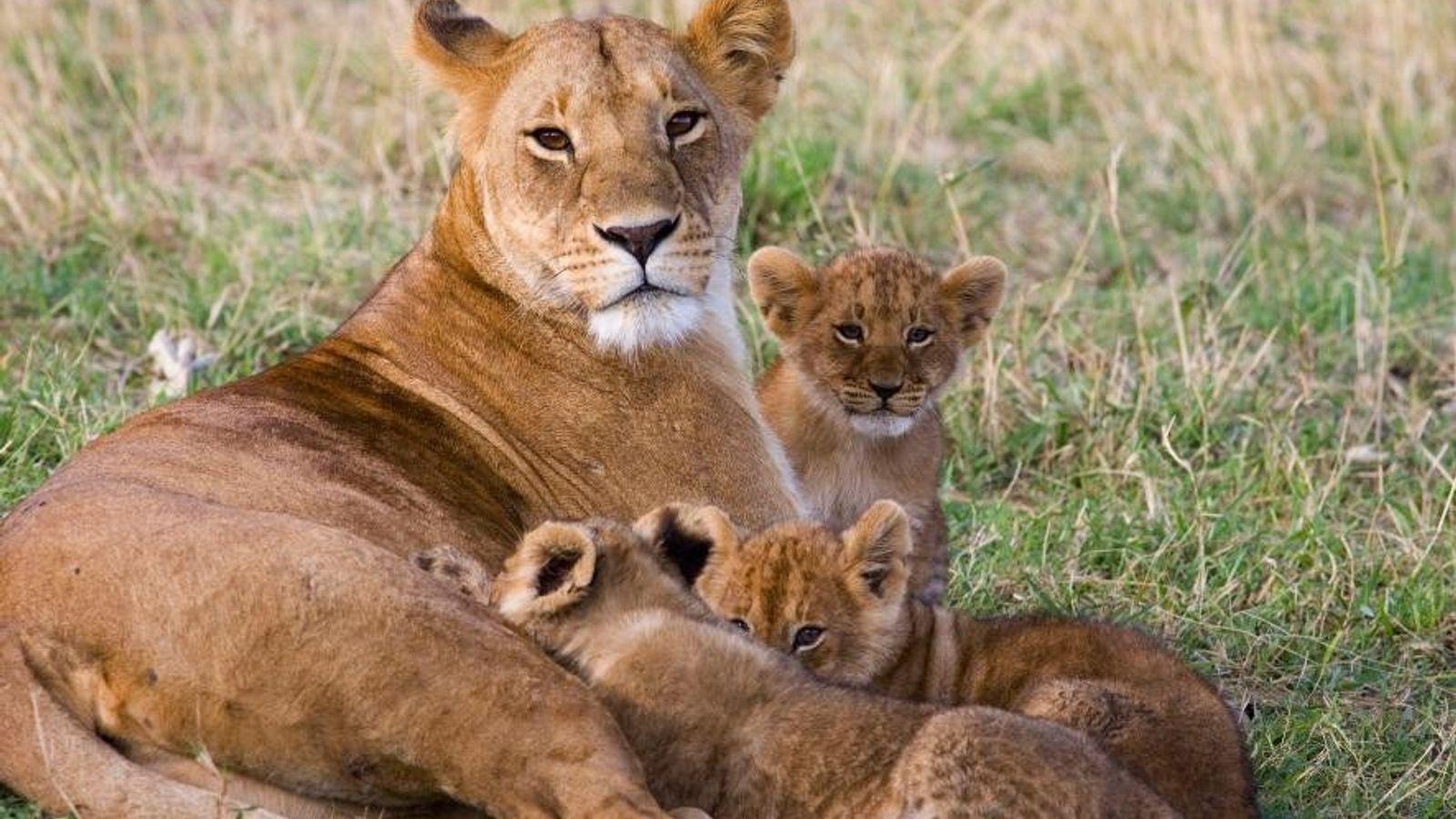 Des lions d'Afrique dans la réserve nationale de Massaï-Mara, au Kenya.