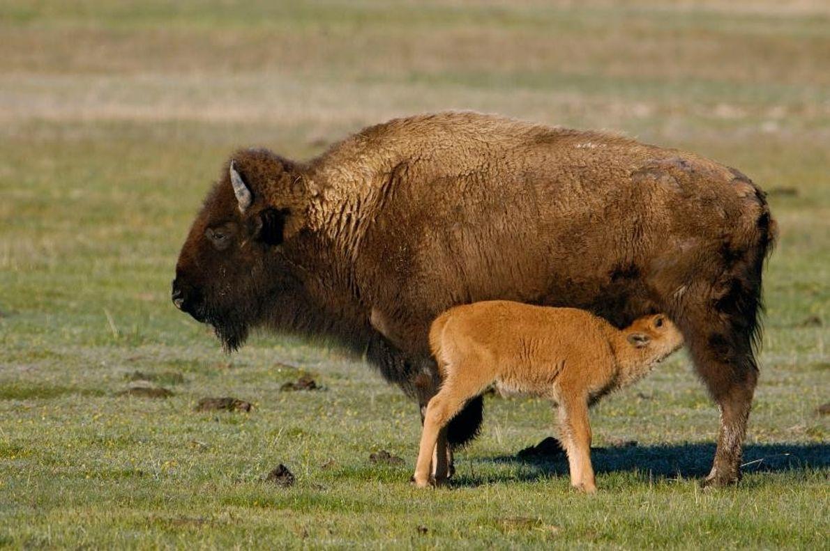 Des bisons d'Amérique du Nord dans le parc national de Yellowstone, situé dans l'État du Wyoming, ...