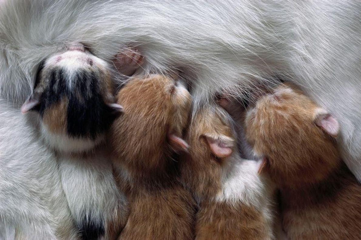 Des chatons tétant leur mère.
