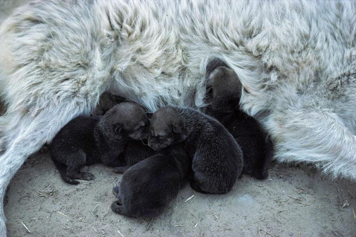 Des loups de l'Est dans l'État du Minnesota, aux États-Unis.
