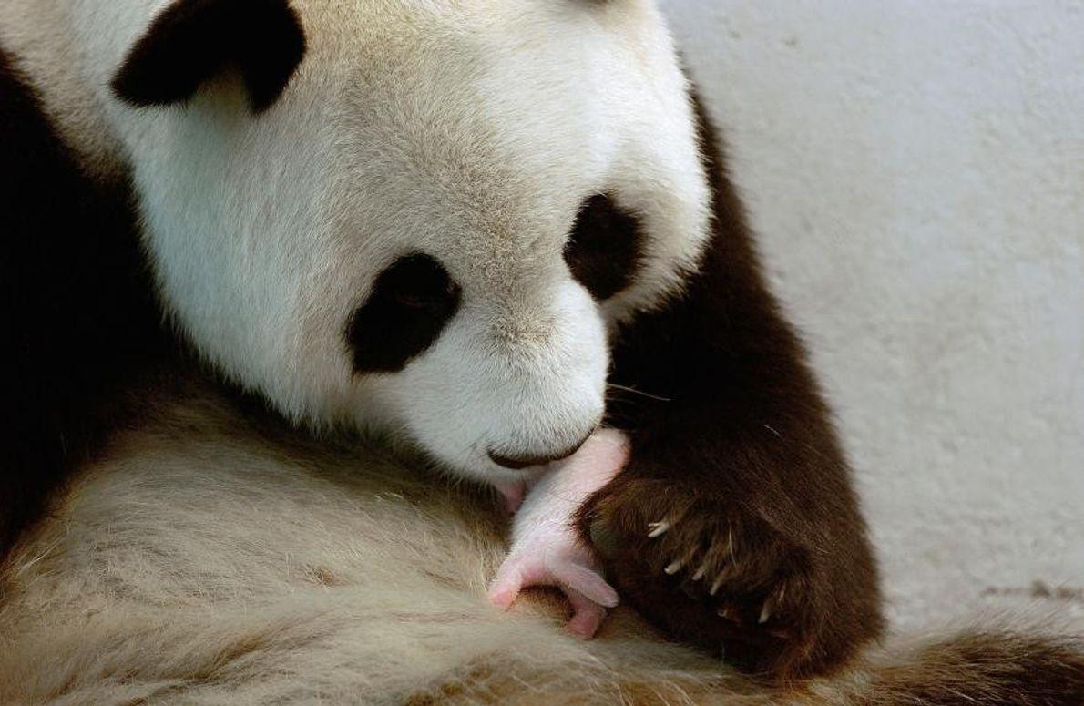 Un panda géant dans la réserve naturelle de Wolong, en Chine.