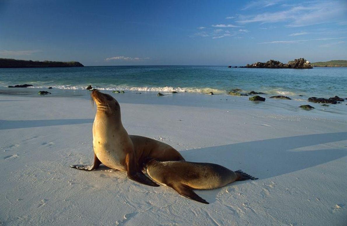 Des otaries des Galápagos dans les îles Galápagos.