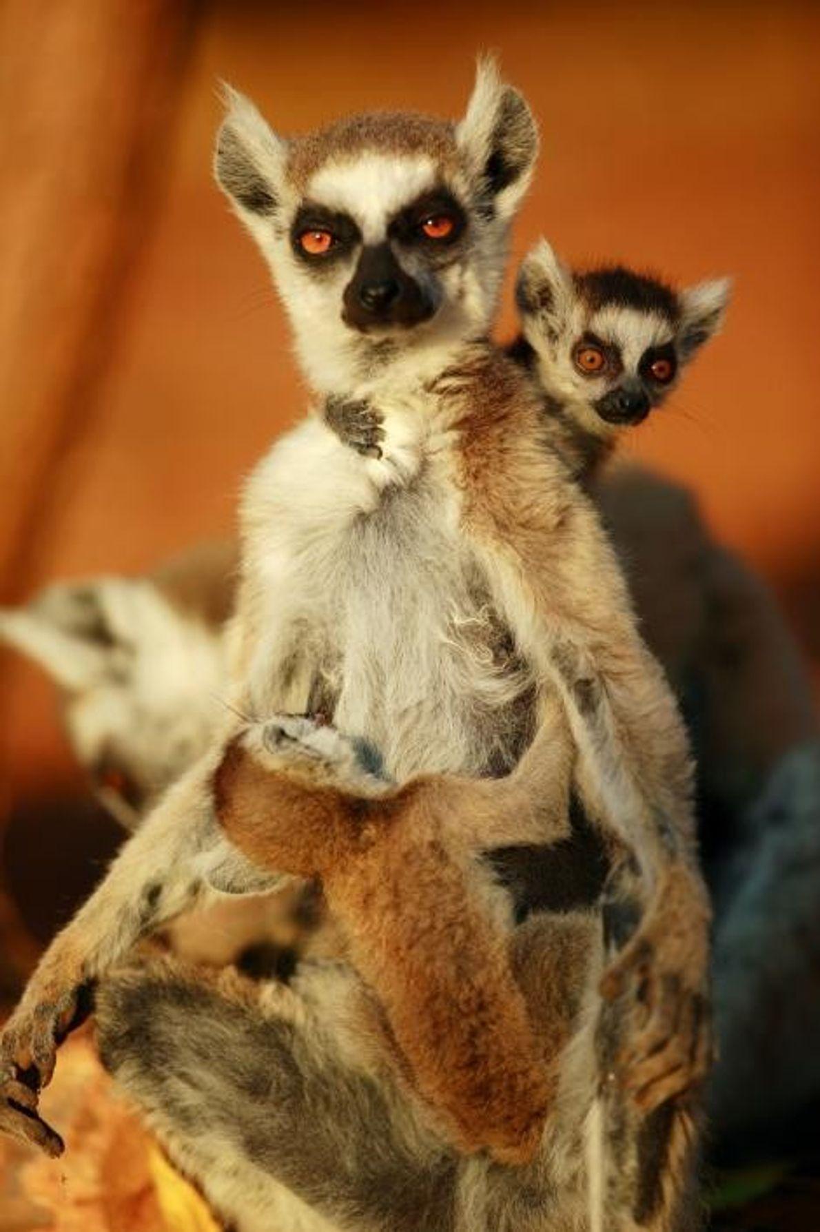 Un mère maki catta et ses jumeaux, classés comme espèce vulnérable, à Madagascar.