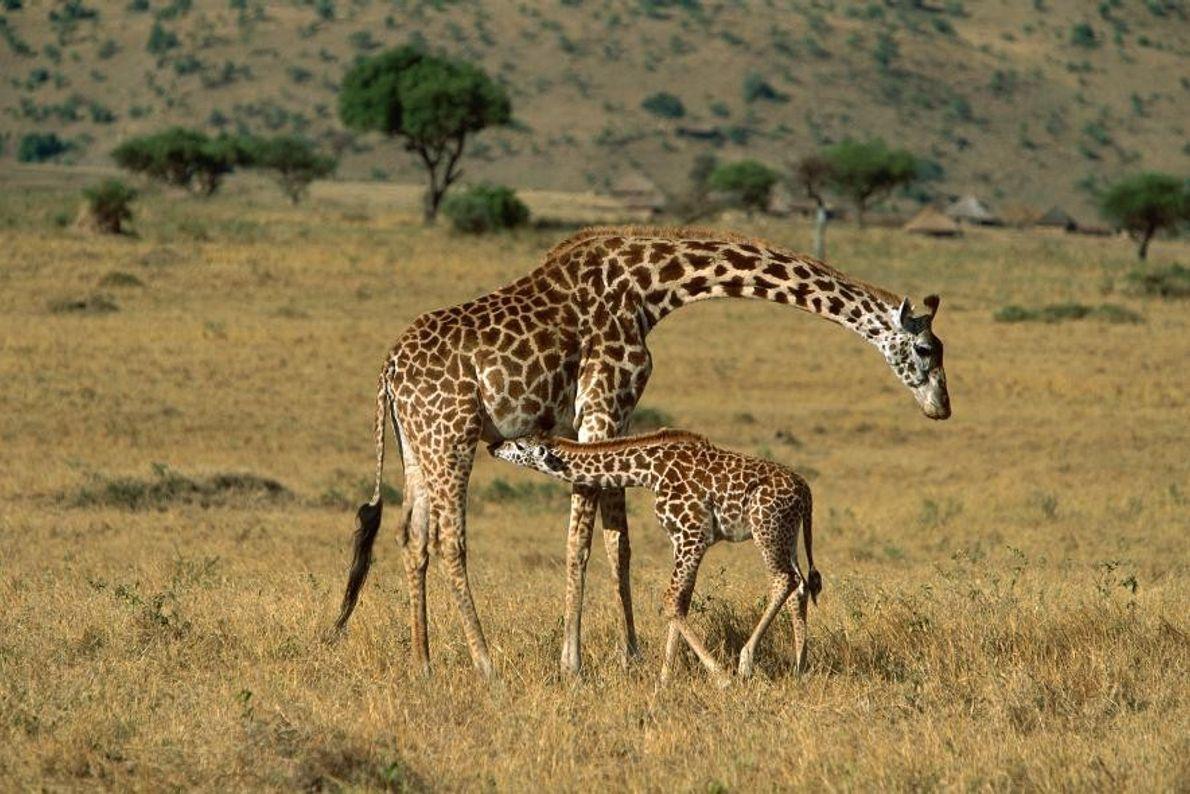 Des girafes Masaïs dans la réserve nationale de Massaï-Mara, au Kenya.