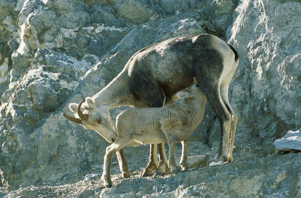 Des mouflons de Stone ou de Dall, dans les montagnes Rocheuses, au Canada.