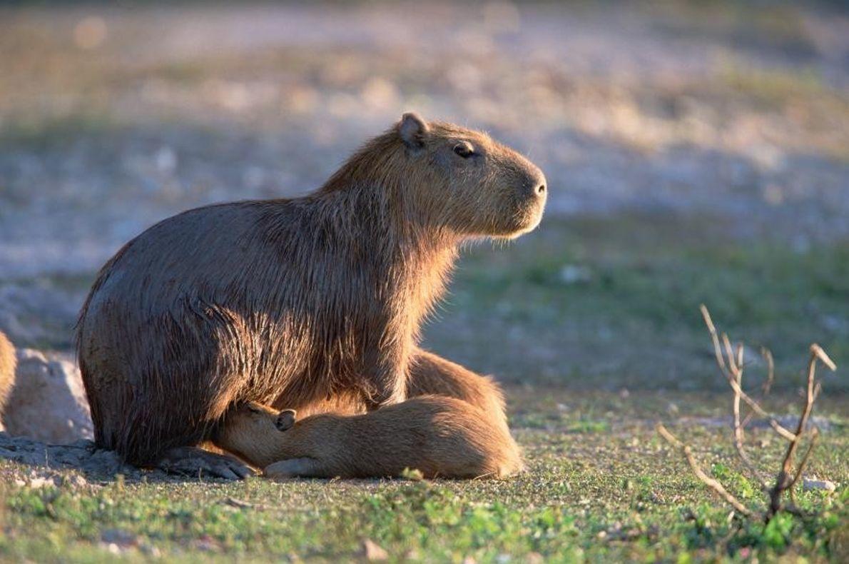 Des capybaras dans le Pantanal, au Brésil.
