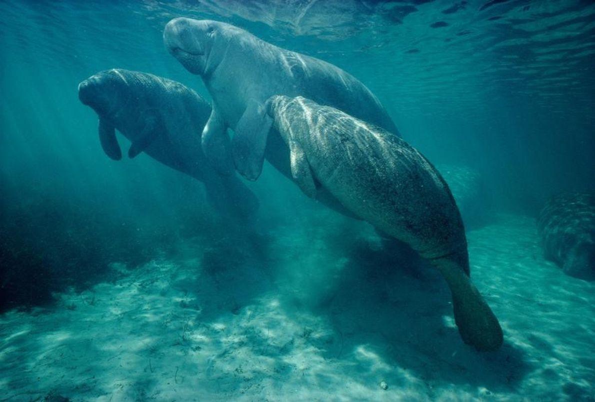 Des lamantins des Caraïbes, également appelés dugongs, à Kings Bay, dans la ville de Crystal River ...