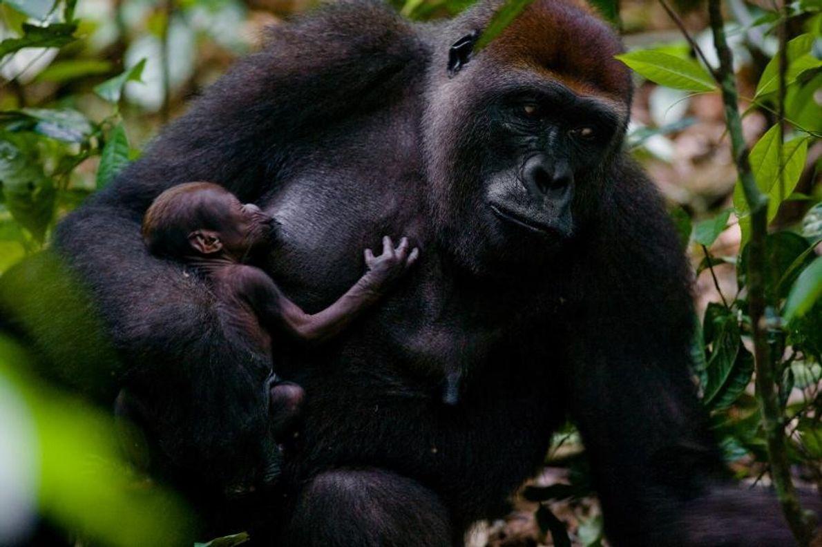 Des gorilles des plaines de l'Ouest à Mondika, en République démocratique du Congo.