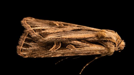 Plus de 130 ans après sa découverte, ce papillon de nuit a enfin été photographié