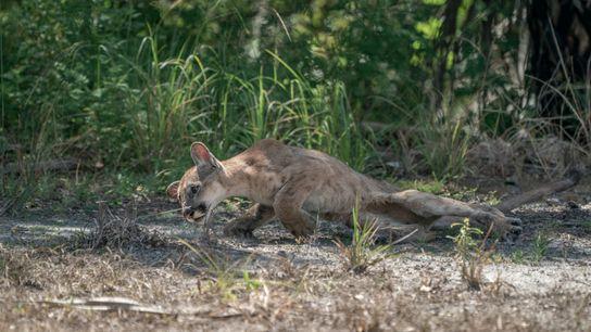 Un petit panthère de Floride mâle lutte pour se relever après avoir perdu le contrôle de ...