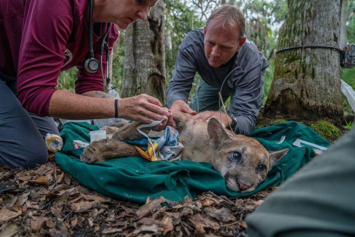 La vétérinaire Lara Cusack et le biologiste Mark Lotz prélèvent des échantillons sanguins d'un petit panthère ...
