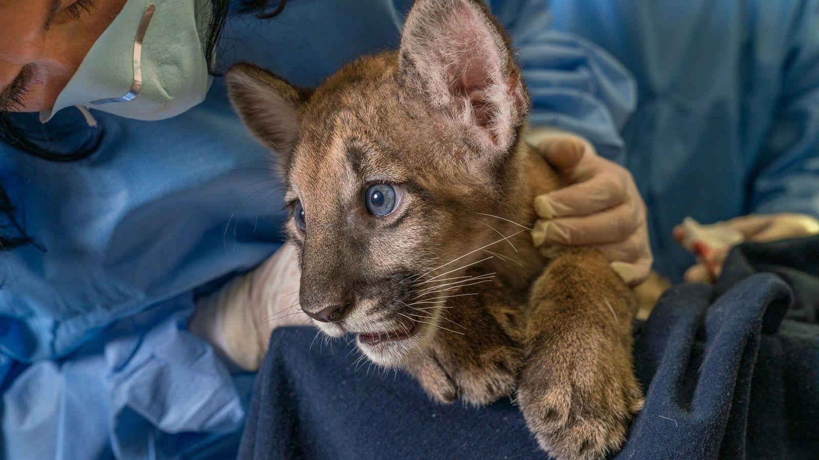 Zoo Tampa, Floride : la vétérinaire Lauren Smith examine un bébé panthère, dont la mère est atteinte ...