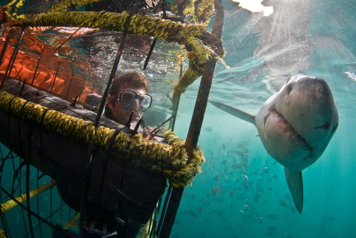 A Great White Shark passes a shark cage close to a diver
