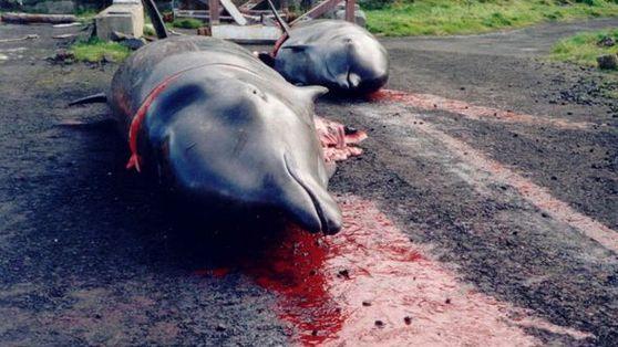 La chasse aux dauphins est ouverte au Japon