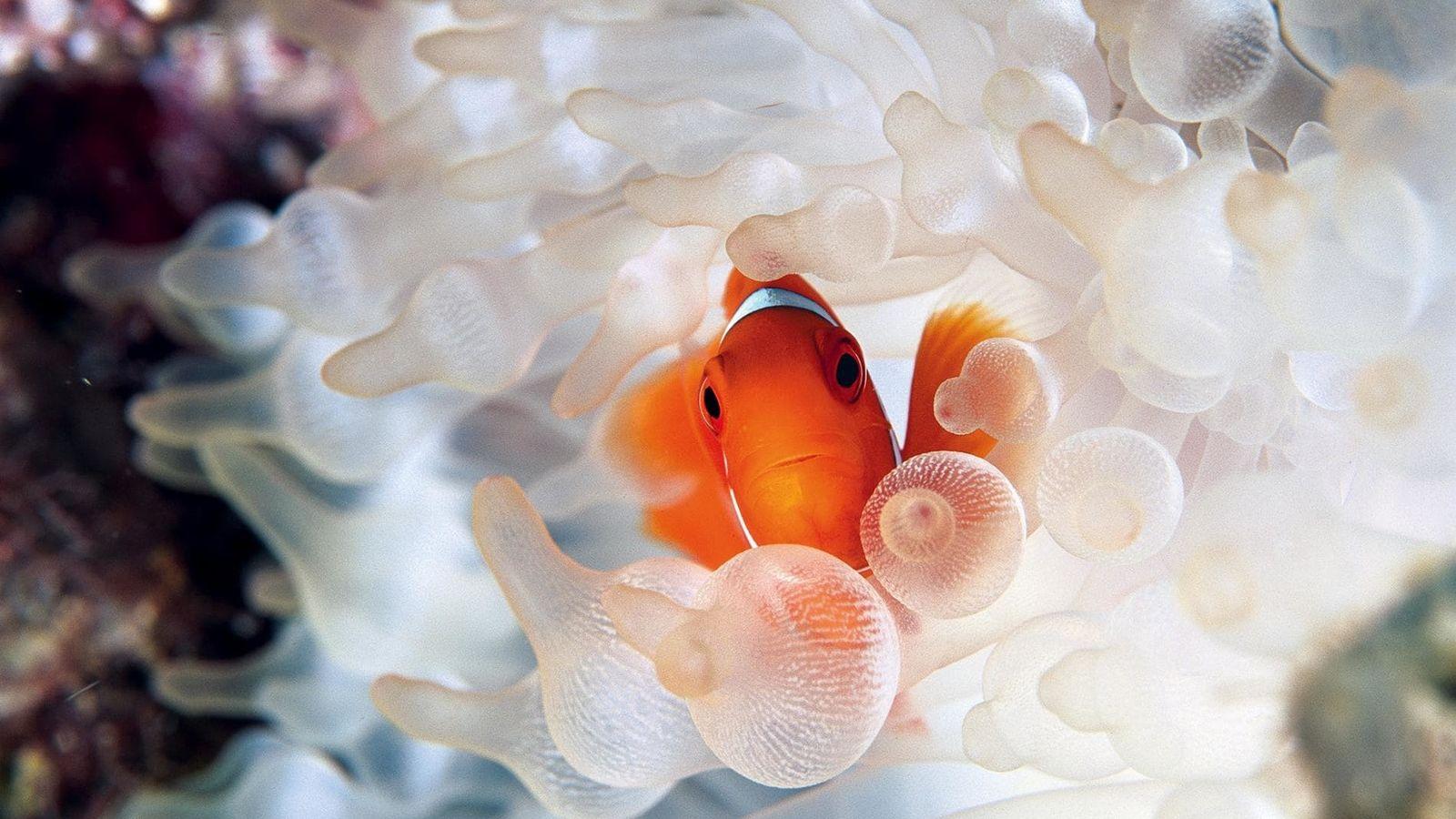 L'anémone est la base même de la structure sociale d'un poisson-clown. Les  deux ont besoin ...