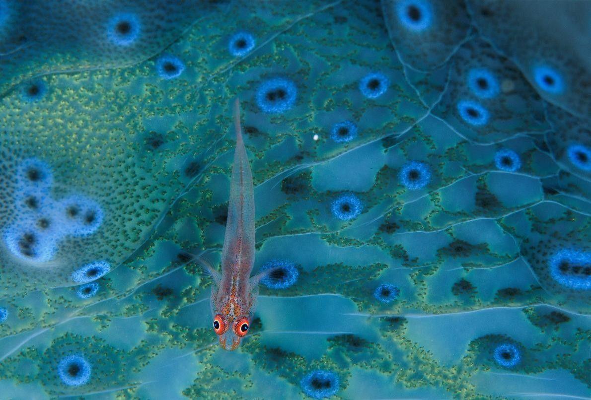 En Papouasie-Nouvelle-Guinée, un gobie est à la recherche de morceaux de détritus sur le manteau coloré ...