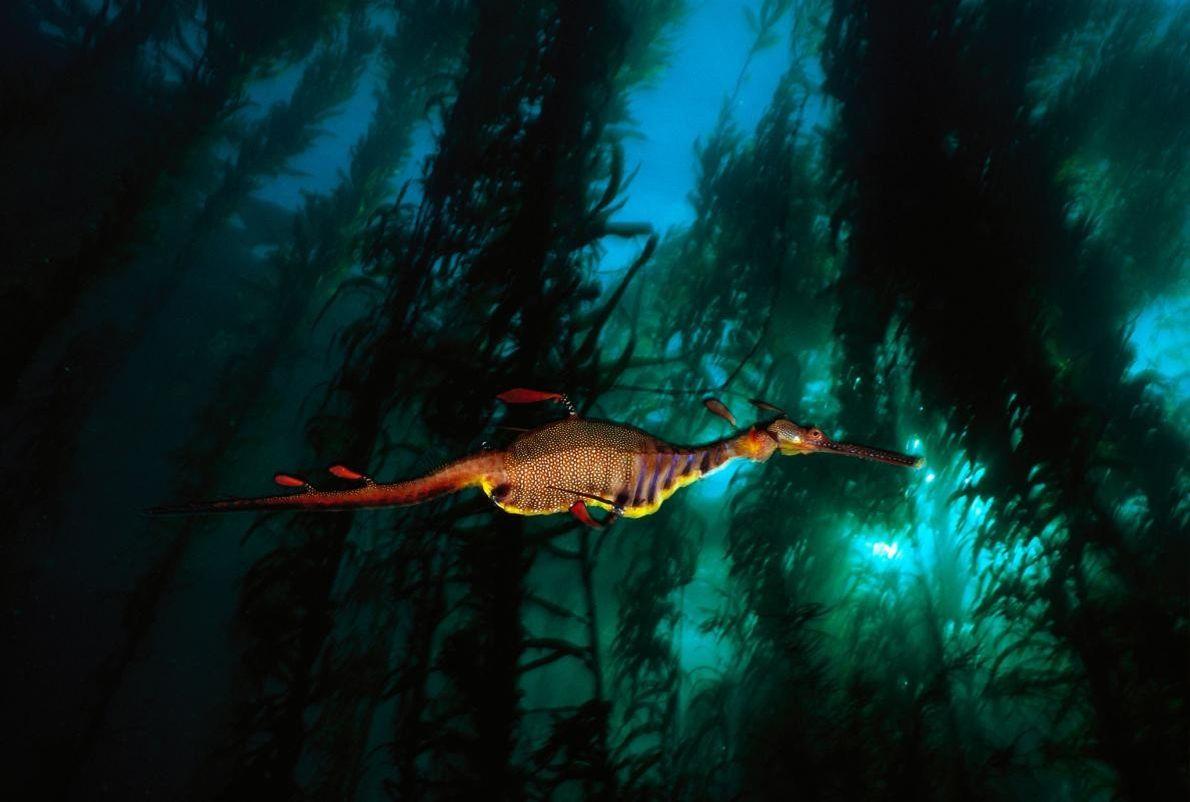 Dans les eaux tempérées de Tasmanie, un dragon de mer feuillu se faufile à travers une ...