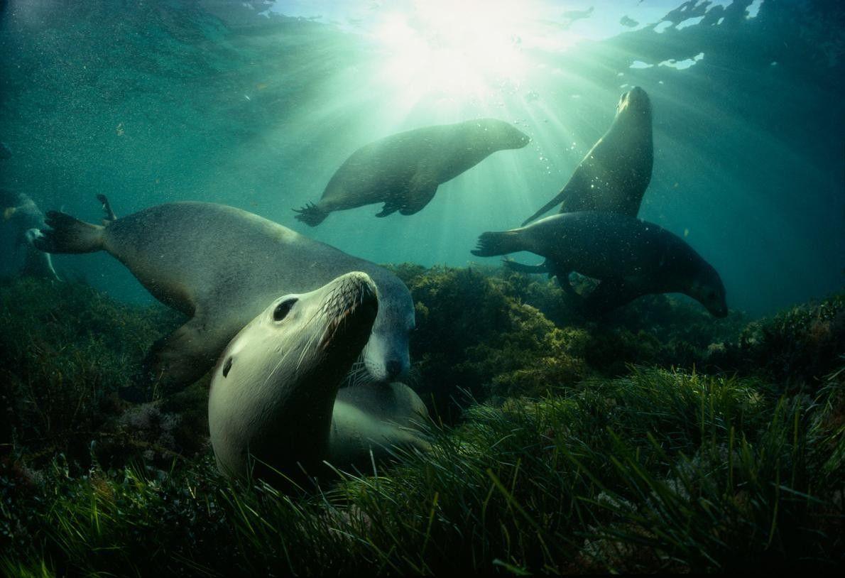 Des lions de mer d'Australie jouent dans des herbiers marins, non loin des îles Hopkins du ...