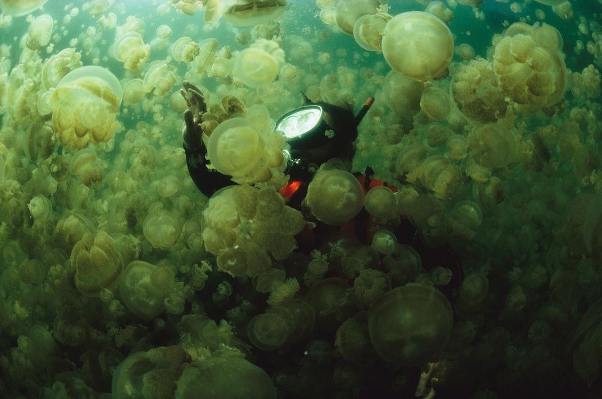 Dans les îles de Palau, en Micronésie, le biologiste marin William Hamner avance à travers une ...
