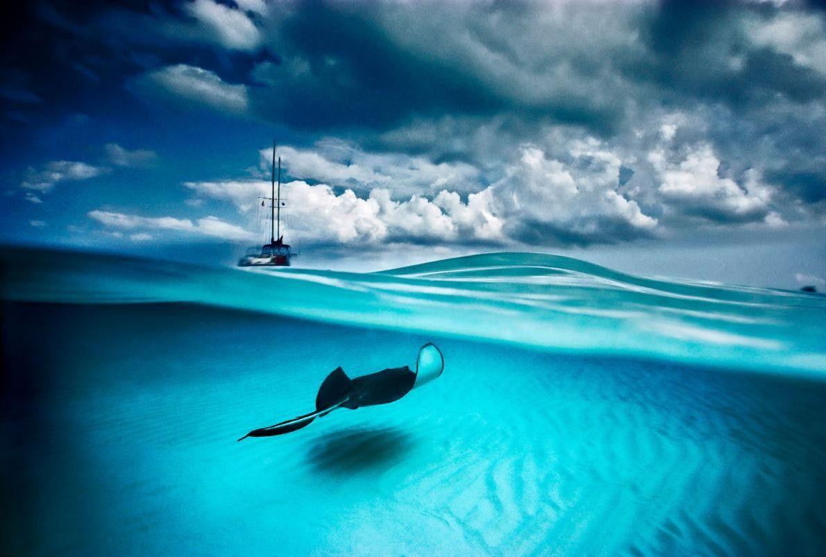 À North Sound, sur l'île de Grand Cayman, une raie pastenague et un voilier naviguent. Ce ...
