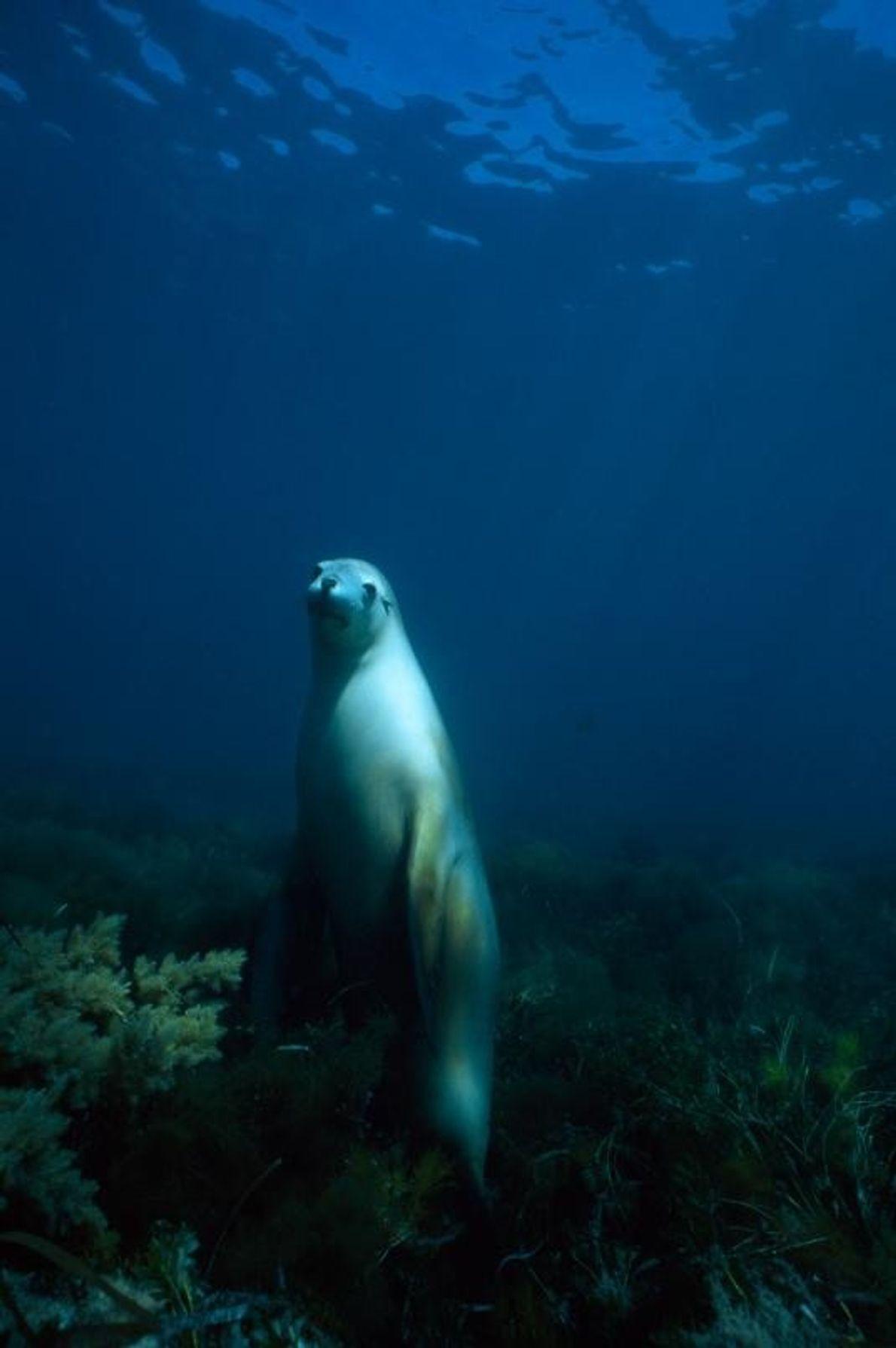 Près de l'île Hopkins, dans le golfe Spencer, en Australie-Méridionale, un lion de mer d'Australie contemple ...