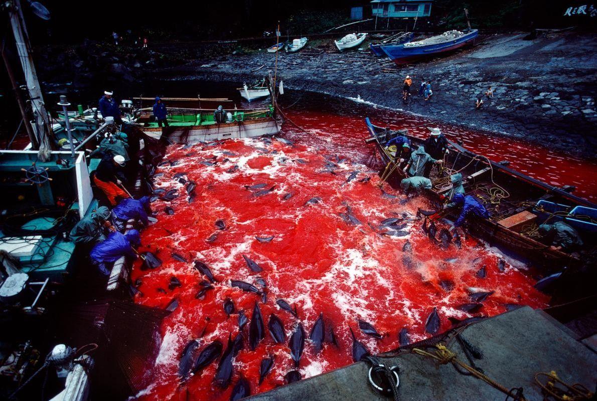 Lors de la pêche annuelle des dauphins, des pêcheurs massacrent systématiquement les dauphins sauvages amenés de ...