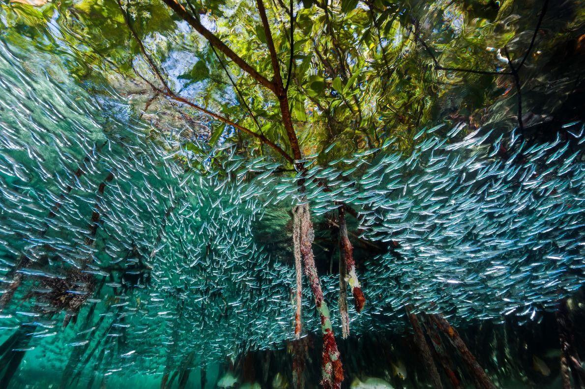 Un banc de capucettes tourbillonne à la manière d'une nuée d'oiseaux dans les mangroves du parc ...