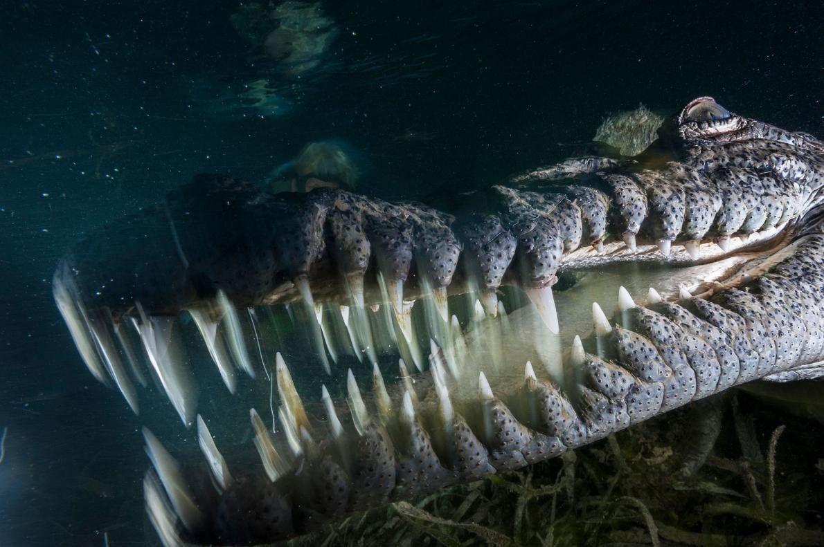 En pleine nuit, un crocodile américain patrouille les canaux de mangrove du parc national Jardines de ...