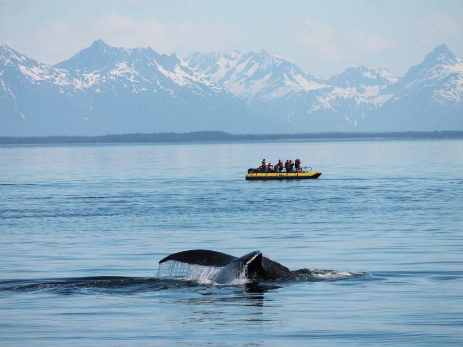 Alaska : au milieu des glaciers, le havre de paix des baleines à bosse