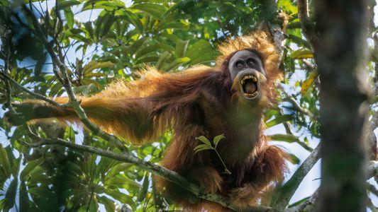 Indonésie : les derniers orangs-outans