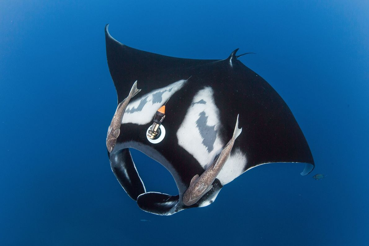Cette raie géante océanique est équipée d'une petite Crittercam qui recueille des données sur son comportement ...