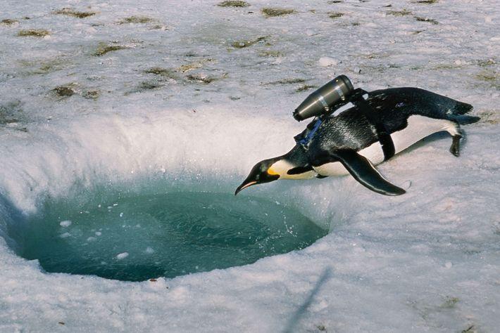 Un manchot équipé d'une caméra s'approche d'un trou dans la glace en Antarctique. L'équipement collecte également ...