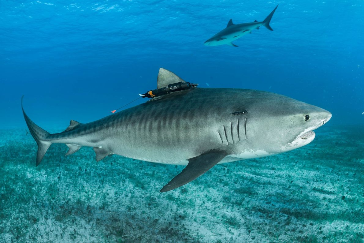 Une caméra accrochée à l'aileron d'un requin réalise des clichés pour le compte du photographe Brian ...