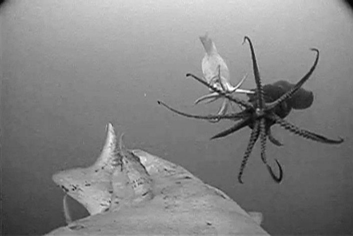 Capturée depuis un calmar de Humboldt, cette image sous marine nous montre les habitants du golfe ...