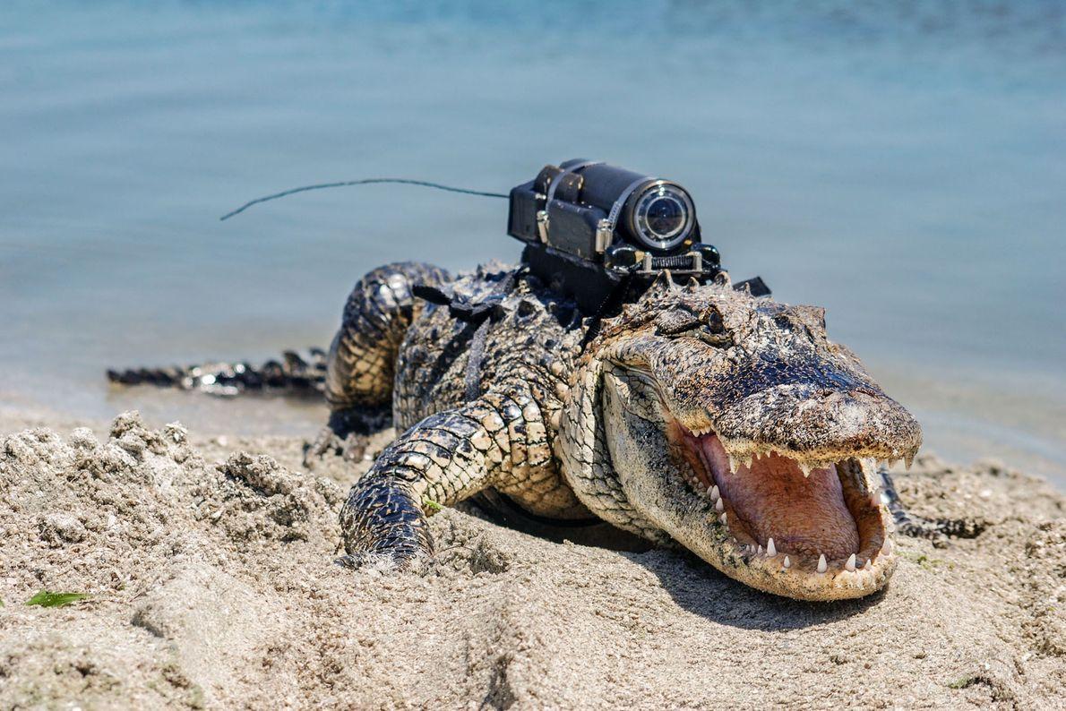 Une caméra fixée sur le dos d'un alligator du centre spatial John F. Kennedy en Floride. ...