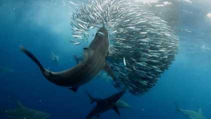 Des marlins, des requins et des otaries convoitent le même festin